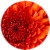 Small_1504632976-chrysanthemum
